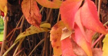 Poison Ivy liebt den Herbst
